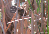 Carouge, bébé - Baby Red-winged Blackbird
