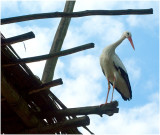 Stork on the roof!