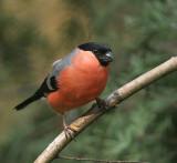 Bullfinch - Goudvink
