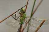 Emperor Dragonfly - Grote keizerlibel