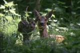 Roe deer - Ree