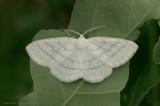 Common White Wave  - Witte grijsbandspanner