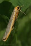 Common Footman - Eilema lurideola