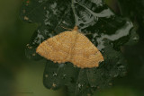 Yellow Shell - Gestreepte Goudspanner