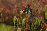 Black Darter - Zwarte Heidelibel