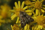 Antler moth - Bonte grasuil