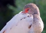 33315  White Ibis juvenile