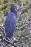 43911  Little Blue Heron