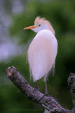 29933  Cattle Egret