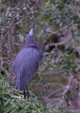 13488 - Little Blue Heron