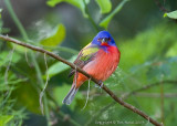 22570c -  Painted Bunting