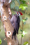 22805c -  Pileated Woodpecker
