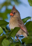 22885c -   Cardinal female