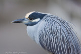 23003c =  Yellow Crowned Night Heron