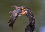 24136 - Anhinga with Catfish