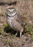 22395w Burrowing Owl