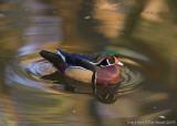 22126 -  Wood  Duck
