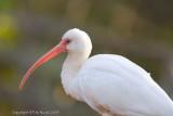 23009w  White Ibis