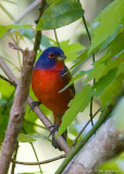 23326w  Painted Bunting