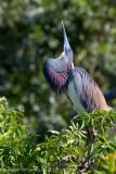 29054 - Tricolor Heron