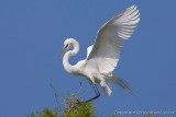 29146 - Great Egret
