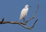 30560 - Snowy Egret