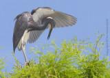 30575 - Tricolor Heron