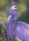 33262c - Tricolor Heron