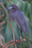 33268c - Little Blue Heron