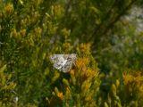 Schinia albafasciata