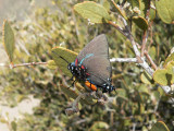 Great Blue Hairstreak (Atlides halesus corcorani) - male