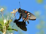 Pipevine Swallowtail (Battus philenor) - coupled pair