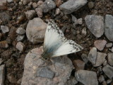 Northern White-Skipper  (Heliopetes ericetorum) - male