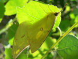 Southern Dogface (Zerene cesonia cesonia) - coupled pair