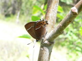 Thicket Hairstreak (Callophrys spinetorum spinetorum)