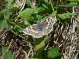 Common/White Checkered-Skipper (Pyrgus communis/albescens)