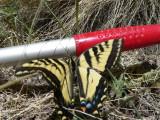 Tiger Swallowtail (Papilio rutulus)