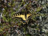 Anise Swallowtail (Papilio zelacaon)