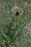 Antelope-horns Milkweed (Asclepias asperula)