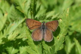 Ruddy Copper (Lycaena rubidus perkinsorum)