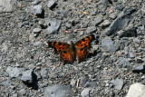 Green Anglewing (Polygonia faunus arcticus)