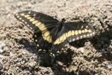 Desert Black Swallowtail (Papilio polyxenes coloro)