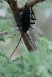 Solitary Black Bycid  (Stenaspis solitaria)