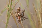 Snakeweed Grasshopper (Hesperotettix viridis viridis)