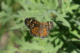 Painted Crescent (Phyciodes picta canace)