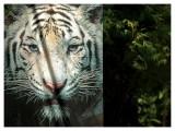 Paper Tiger (Zoom test)