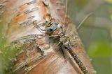 Common Hawker, Vanlig øyenstikker, Aeshna juncea, Female