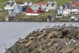 Seagulls in Tvøroyri, Suduroy