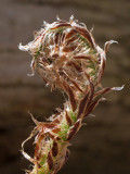 Goldie's Fern Unfolding