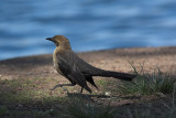 Great -tail Grackle